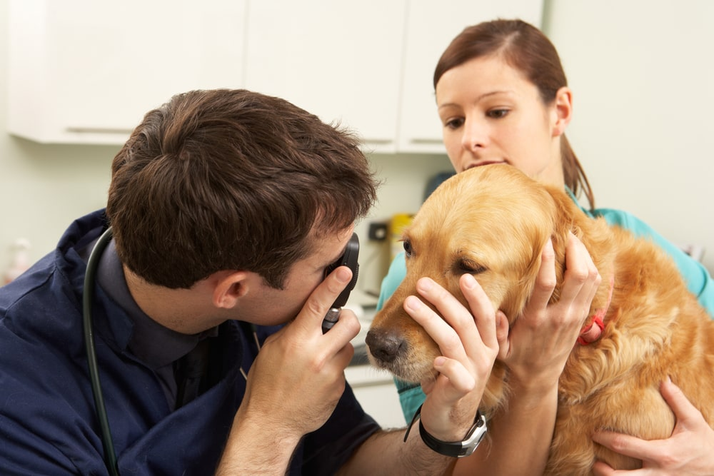 dog's eye getting examined by his veterinarian