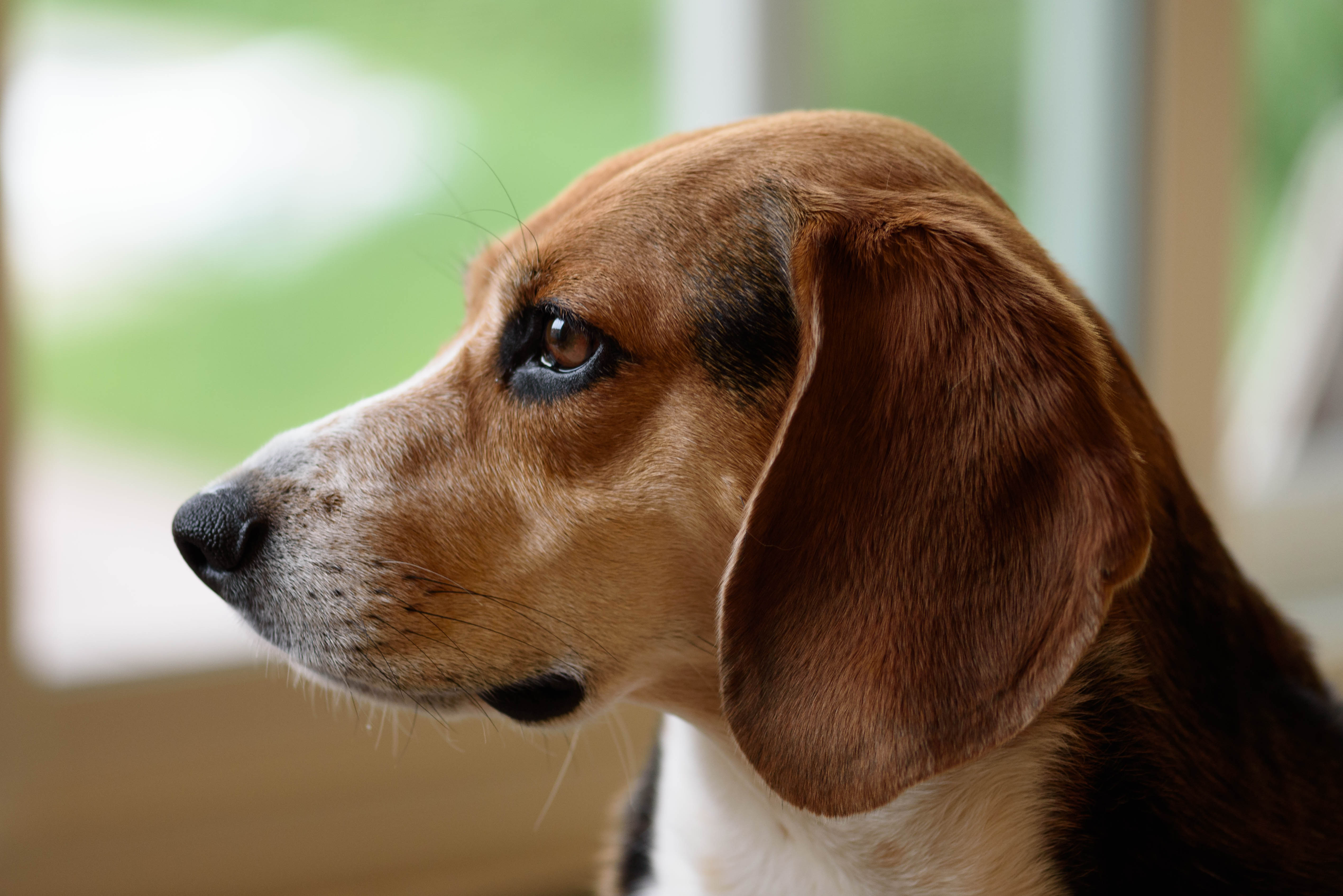 Hip Dysplasia I Austin Veterinary Clinic